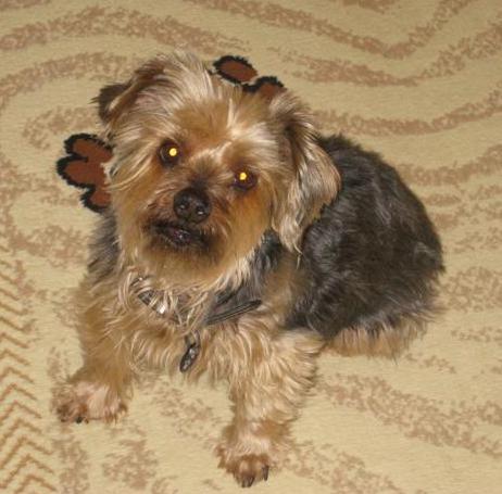Goldies Yorkies Teacup Yorkie Puppies For Sale Yorkshire Terrier ...
