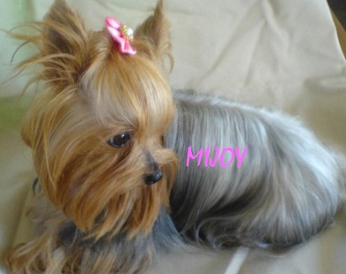 the-pocket-yorkshire-terrier