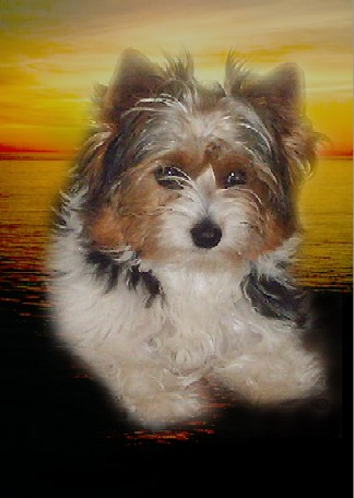 in-loving-memory-of-dominique-biewer-yorkshire-terrier